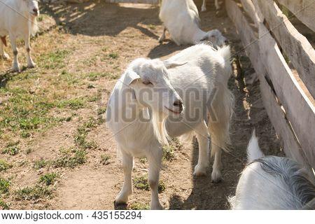 Cute Domestic Goats On Farm. Animal Husbandry