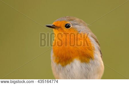 Robin bird close up with the focus on the eye