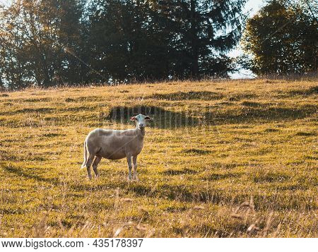 Sheep Enjoying Pasture In Late Summer Day, Evening Light, Slovakia
