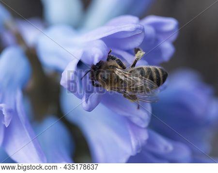 Close Up, Macro Of Honey Bee Pollinating Blue Hyacinth, Hyacinthus Orientalis. Beautiful Spring Flow
