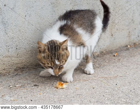 Hungry Stray Abandoned Cat On Street In Croatia Eating Food Leftovers