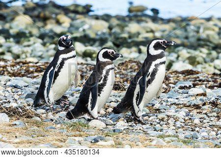 Three wild Magellanic penguins (Spheniscus Magellanicus) walking on a coast of Magdalena island, Chile