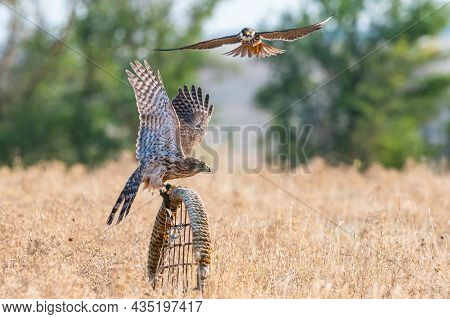 Birds Of Prey Young Northern Goshawk, Accipiter Gentilis. A Bird Sits On A Stick Placed By A Man In