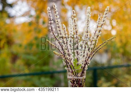On An Autumn Background In A Glass Vase, A Bouquet Of Branches Of Perennial Tall Black Cohosh Or Cim