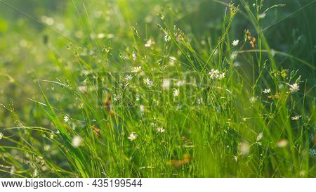 Summer Meadow With Green Grass And White Flowers On A Sunny Evening With Highlights And Rays Of The
