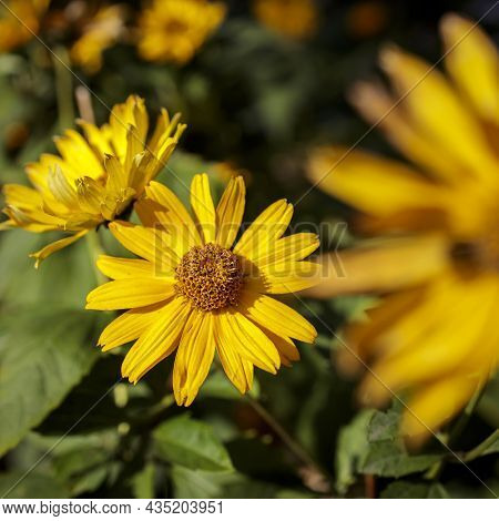 Helianthus Pauciflorus, Called The Stiff Sunflower, Is A North American Plant Species In The Sunflow