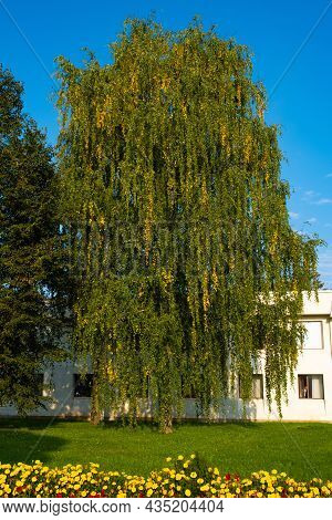 A Birch Tree With Strands Of Yellow Leaves And Yellow Flowers In The Foreground On A Sunny Day.