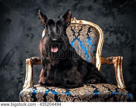 Cheerful Scotch Terrier Dog Sitting On Luxurious Armchair