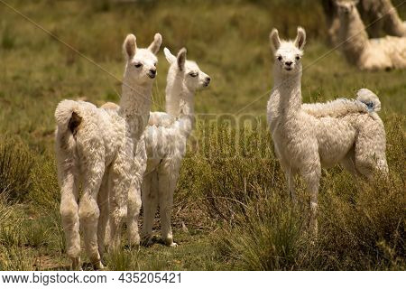 Three White Baby-llamas (lama-glama) Looking At The Camera In A Green Field In Jujuy, Argentina. Que
