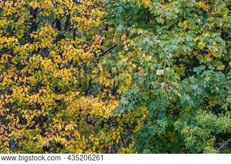 Background Of Yellow And Green Wet Leaves On A Rainy Autumn Day.