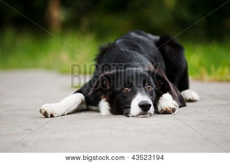 Young Puppy Border Collie