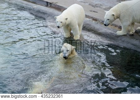 Small Polar Bear Cubs With Their Mother Bear, Standing Next To The Water. Concept Of Protection Of A