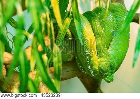 Large, Green Python Has Coiled Up And Is Hanging From A Tree. There Are Dewdrops On The Python, And