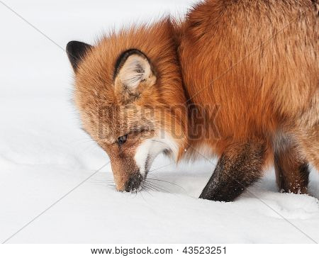 Red Fox (Vulpes vulpes) Sniffs at Snow - captive animal poster