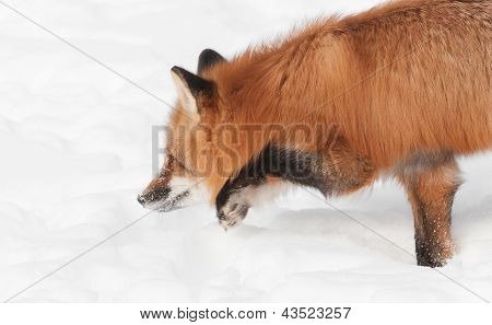 Red Fox (Vulpes vulpes) Moves Low Through The Snow