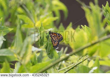 The View Of Monarch Butterfly On A Green Leaves In A Sunny Day.