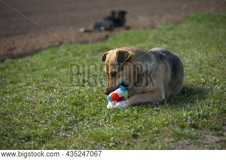 Dog With A Ball. Dog Lying On The Grass. Red-haired A Large Dog Holds A Ball In His Mouth, Lying On