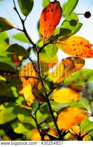 Bright Leaves With Berries On Branches Of Bush With Copy Space. Orange, Green And Yellow Leaves On M