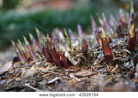 New Growth of Hostas