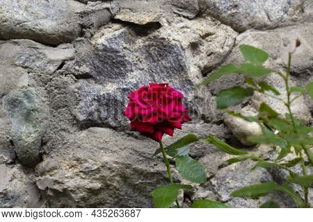 Red, Pink Rose On Grey Background Macro. Close Up Macro Photo Image Of Beautiful Light Color Rose. S
