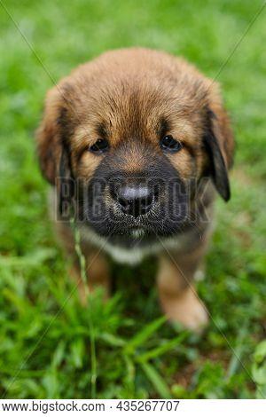 Brown Cute Happy Puppy Newfoundland, Adorable Smile Dog