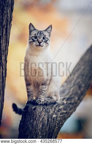Thai Cat Climbs A Tree. Portrait Of A Thai Cat In Nature. A Thai-bred Kitten.  A Lost Cat With A Str