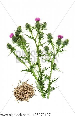 Milk thistle herb and seed alternative herbal plant medicine used to treat liver and gall bladder disorders, used as a dietary supplement for hepatitis, cirrhosis, jaundice, indigestion and diabetes.