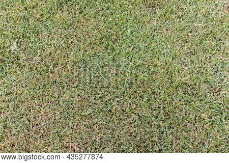 Texture Of Yellow-green Meadow Grass For Background. Sample. Close-up.