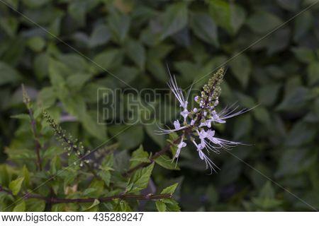 Cat's Whisker Plant Bloom In The Garden. Is A Thai Herb Help Diuretic.