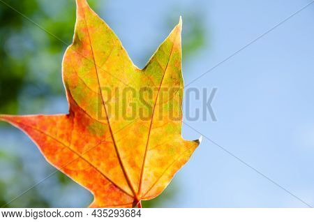 Autumn Composition Of Colorful Foliage. Close-up Yellow, Orange, Red And Green Maple Leaf On Green A