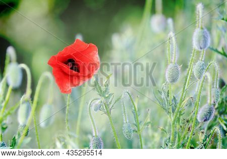 spring wild flower meeadow with red poppy