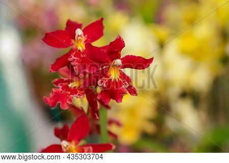 Orchid Flower Of Colmanara Amazonas Species With Focus In The Center And The Rest Of The Image Blurr