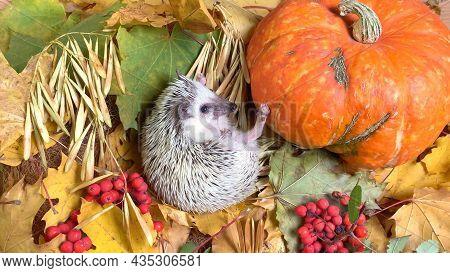 Little Hedgehog And Pumpkin On Fallen Autumn Leaves Background