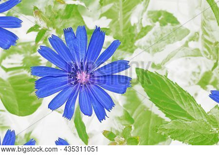 Bright Flowers Of Chicory On The Background Of The Summer Landscape. (cichorium Intybus)