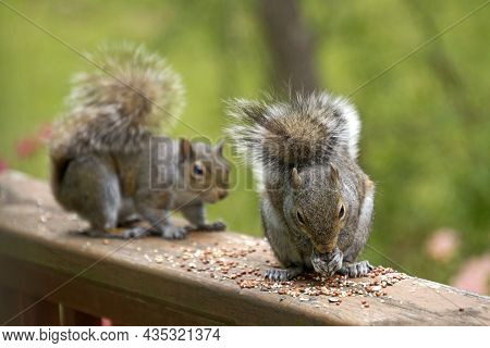 Two Gray Squirrels Lured By Birdseed As The Dominant One Eats And The Submissive Squirrel Sneaks Up