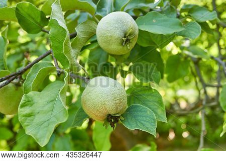 A Two Ripening Green Quince On A Tree Branch. The Unripe Crop Is Growing. A Shaggy Apple On A Green
