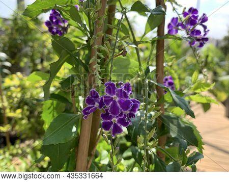 Beautiful Flowering Shrub Duranta Erecta Or Golden Dewdrop
