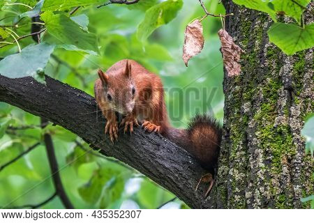 Young Squirrel Sits On Tree In Summer. Beautiful And Red-haired Young Squirrel Sits On A Tree Branch