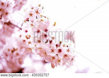 Pink Of Close-ups In Full Blossom In Full Glory Beautifully Cherry Tree.cherry Blossom Sakura And Co