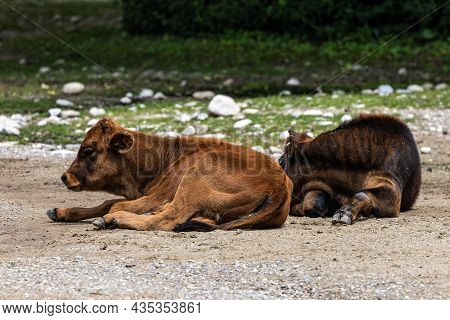 Young Baby Heck Cattle, Bos Primigenius Taurus, Claimed To Resemble The Extinct Aurochs. Domestic Hi