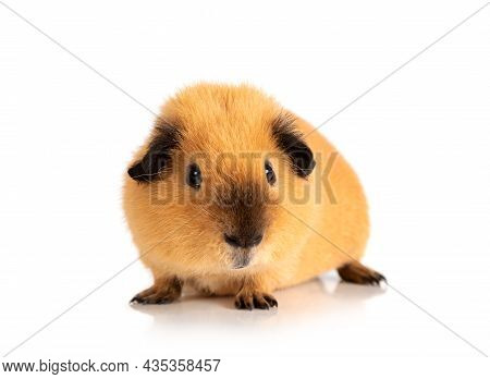 Cool Red Guinea Pig Portrait Isolated On White Background