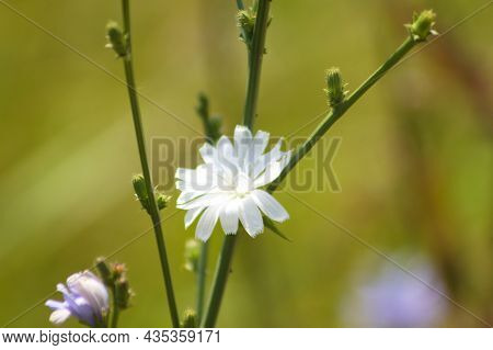 Common Chicory In Bloom Close-up View With Selective Focus On Foreground