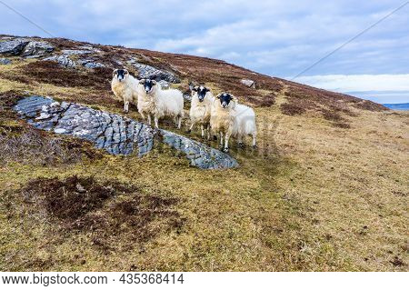 Sheep At The Coastline At Dawros In County Donegal - Ireland