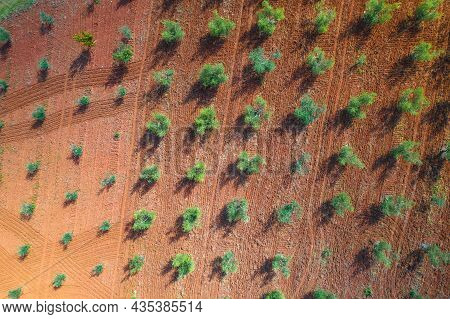 Olive Trees Plantage Groove On Red Soil Aerial View, Production Of Extra Virgin Olive Oil, Istria Re