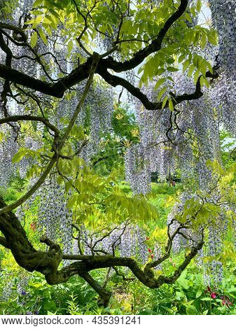 The Great Garden Wisteria Blossoms In Bloom. Wisteria Alley In Blossom In A Spring Time. Germany, We