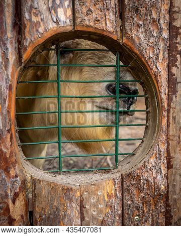 Close-up Of A Takin, Looking Through A Barred Window In Zoological Garden.