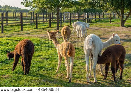 A Herd Of Alpacas In The Rural Ranch On A Sunny Day