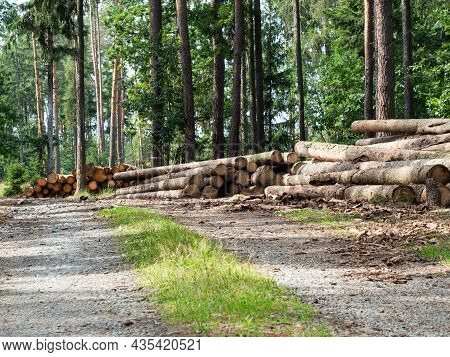 Wooden Trunks In Forest Ready For Wood Industry, Trunks Of Spruce Trees Cut And Stacked In The Foreg