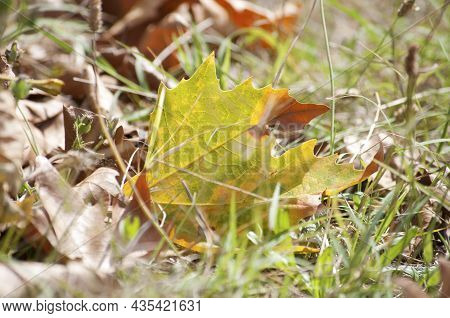 Yellow Autumn Leaf Among The Grasses And Around It Other Withered Leaves. Close-up Photo.