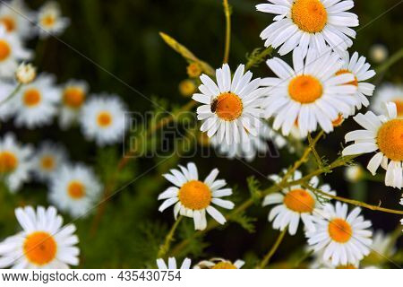 Chamomile Flower Field. An Insect, Fly Is Sitting On A Daisy, Pollinating The Daisy With Insects. Ca